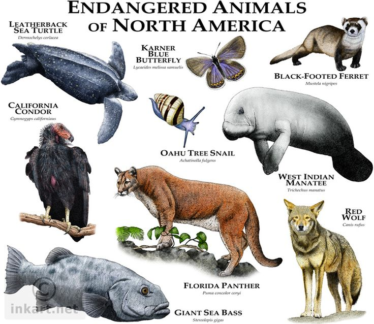 Fine art illustration of various species of North American animals that are at risk of becoming extinct.