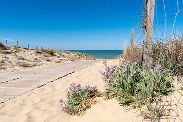 OCEAN ATLANTIQUE, giroflée des dunes, Gironde