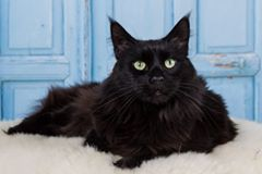 Maine Coon, #black #solid (n). Kato Benninck's Hoff photo by #NatasjaVodegel #mainecoon #cats
