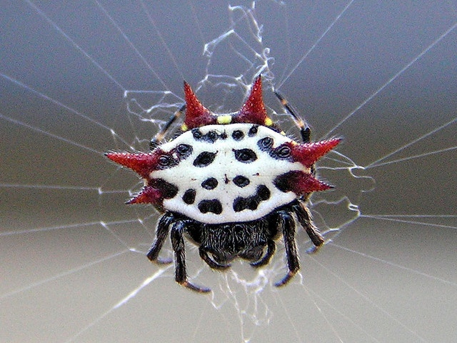 "love these! ""spiny orb weaver spider""Weaver Spiders, Gasteracantha Cancriformi, Orb Weaver, Back Yards, Orb Weaving Spiders, Backyards, Spiny Orb, Animal, Spiders Web"