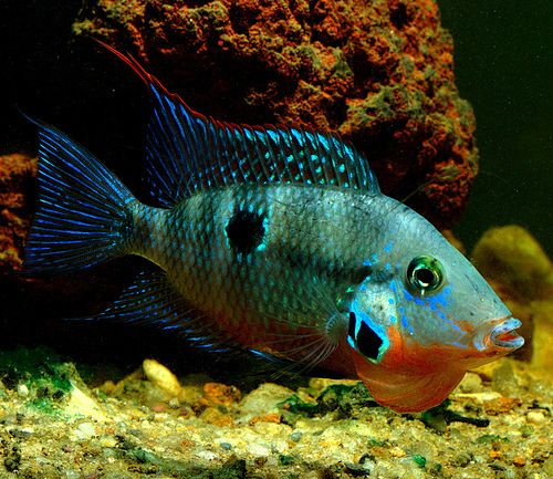106 best special cichlids images on pinterest aquarium for Freshwater exotic fish