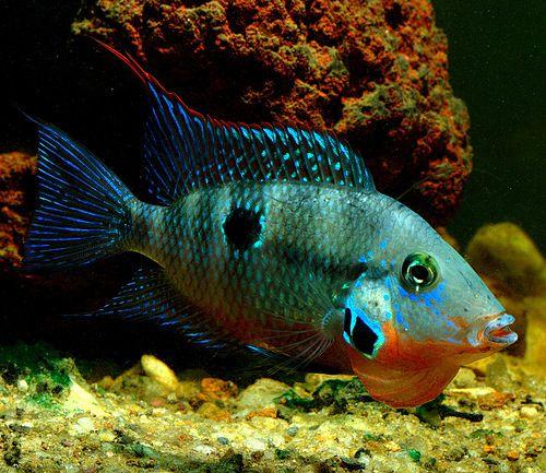 Firemouth Cichlid, via Flickr.