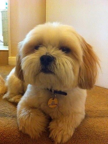 This Lhasa looks just like our Cutie, who had to be put down two years ago. We still miss her so much.