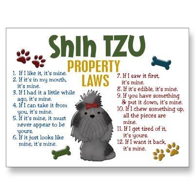 Shih tzu rules!