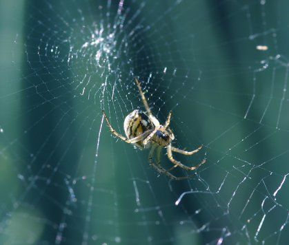 araignée épeire dans sa toile