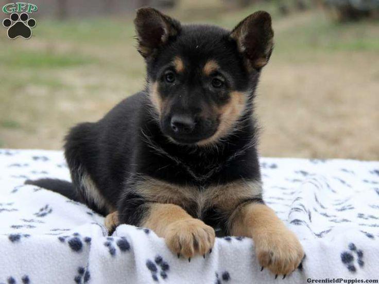 Nobleheim German Shepherds is located in Texas, just 65