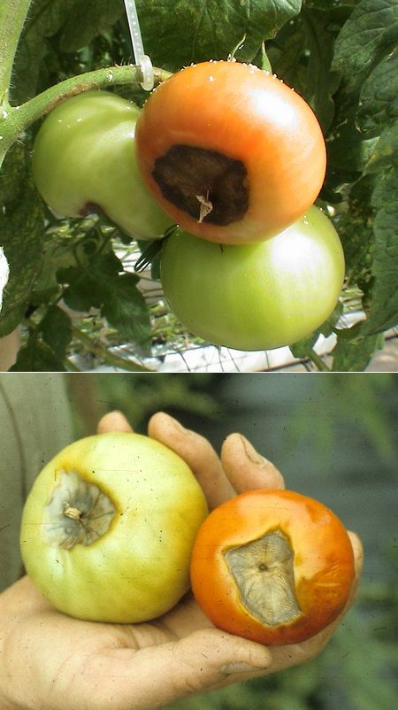 Tomato Blossom-End Rot : it's a common problem with homegrown tomatoes. It initially appears as a depressed, leathery, brownish area the size of a dime to a half dollar on the blossom end of the fruit. It is caused by a calcium deficiency  ........