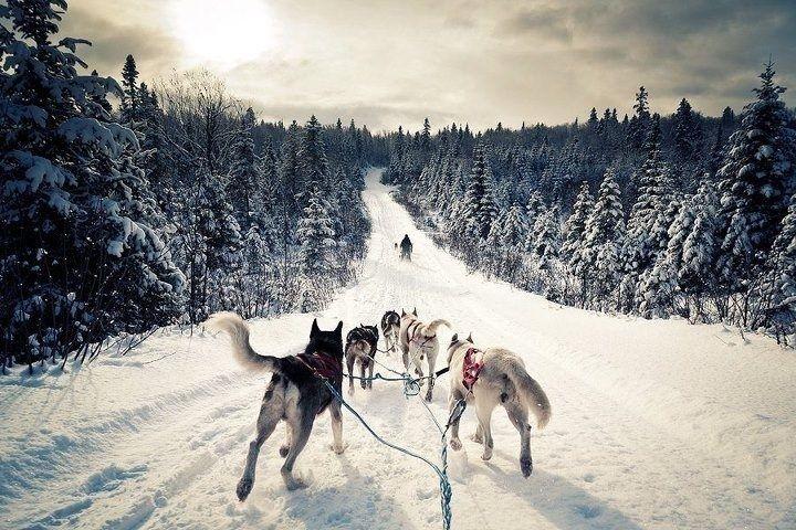 карелия собачья упряжка - Google Search