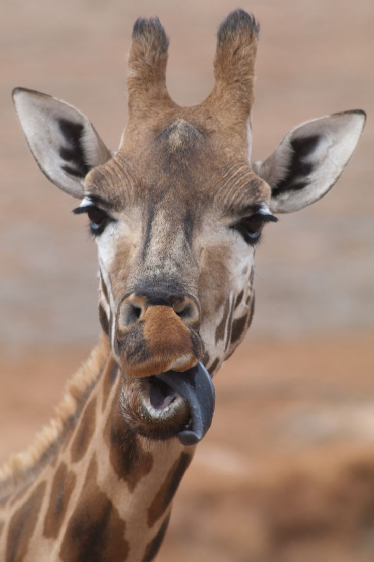Funny Giraffe Tongue images