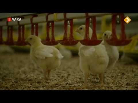 Opnieuw antibiotica alarm De volksgezondheid in Nederland staat onder druk door problemen die veroorzaakt worden door de ESBL een superbacterie uit de kippenstal die mensen en dieren ongevoelig maakt voor antibiotica. ESBL ontstaat door het gebruik van buitensporig veel antibiotica om de dicht op elkaar levende kippen gezond te houden. Maar nu blijkt dat niet alleen kip besmet kan zijn met de ESBL-bacterie maar ook groenten. Onderzoekers hebben op zeven groenten een ESBL-houdende resistente…