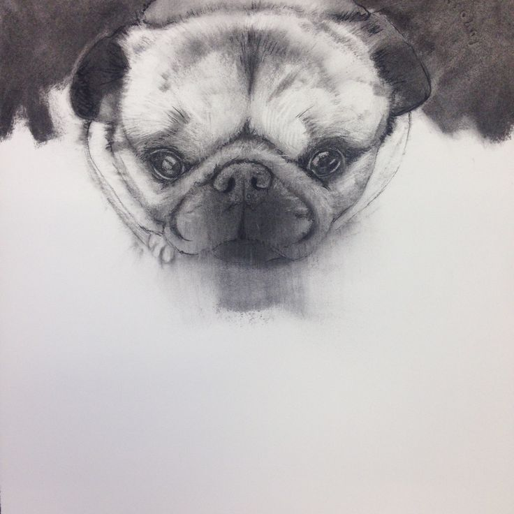 PUG - Pop Up Gallery mascot. Charcoal on paper. Charles Hannah