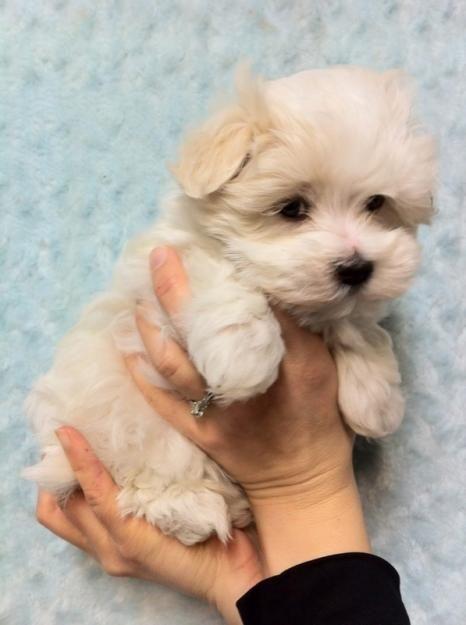 Havanese puppies....so fluffy!