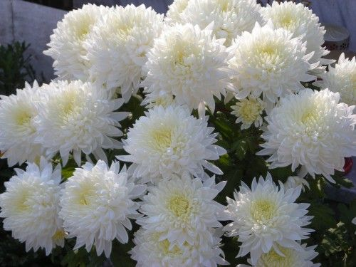 Krizanteme Chrysanthemums in Croatia are cemetery