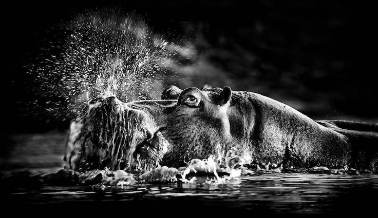 Hippo in water by Heinrich van den Berg on www.digitalgallery.co.za
