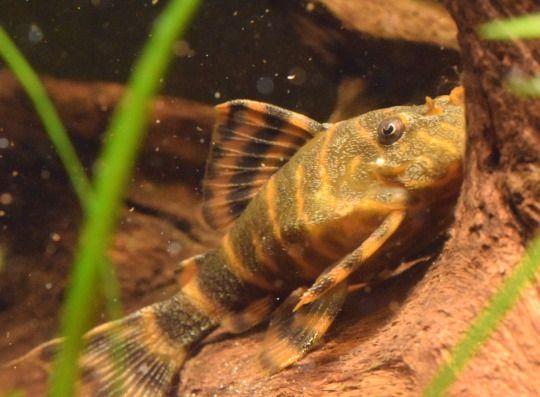 pangiopangio - aquarium catfish