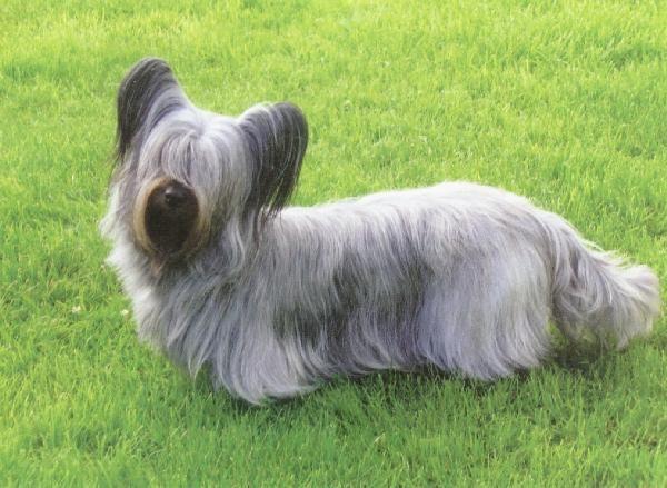 Silver Skye Terrier.