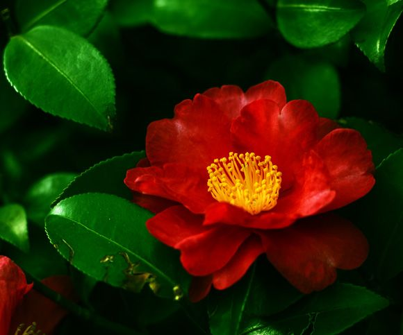椿 tsubaki, camellia, Japan ツバキ