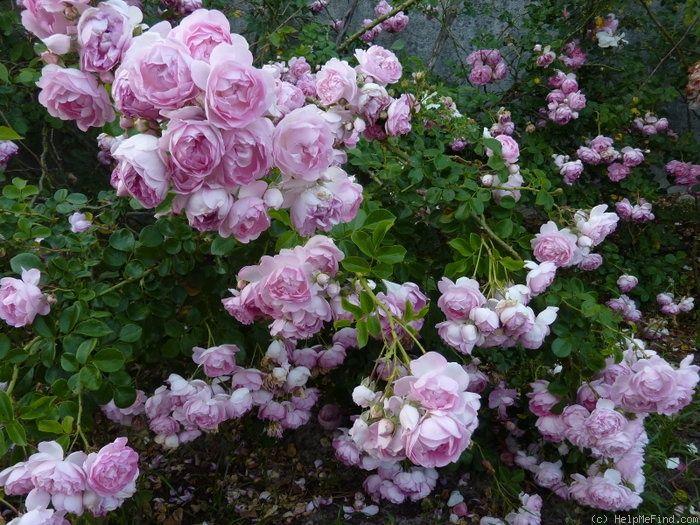 39 jasmina 39 rose photo roses pinterest photos rose. Black Bedroom Furniture Sets. Home Design Ideas
