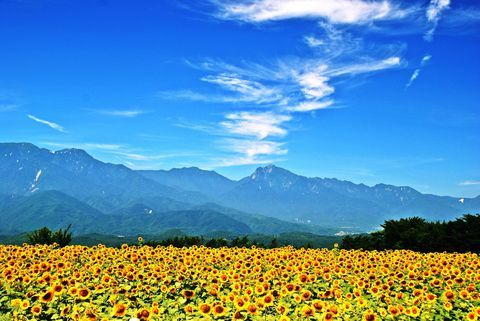 圧巻のひまわり畑!北杜市の花と自然のお勧めスポット5選! | 山梨県 | [たびねす] by Travel.jp