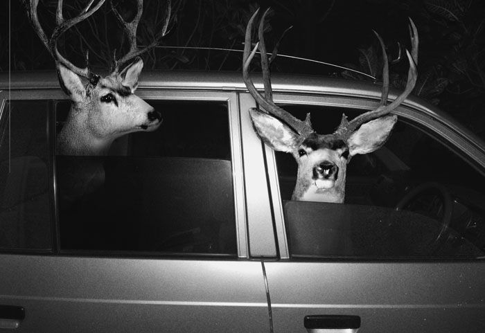 Deer hanging out in a car. Agan Harahap
