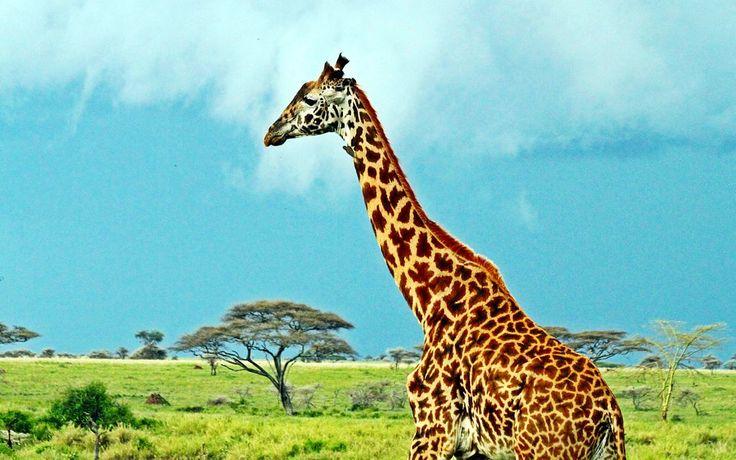 Girafa masai no Parque Nacional do Serengeti, Tanzânia, África Oriental. Fotografia: SajjadF.   - Wikipédia, a enciclopédia livre.