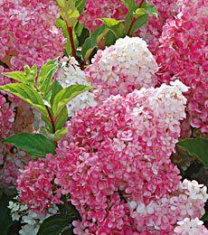 Gorgeous pink hydrangea!: Favorite Flowers, Shrub, Pink Hydrangea