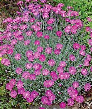 463 best new england region garden quide images on pinterest dianthus firewitch 2006 perennial plant of the year deep violet pink blooms emit the sweet mightylinksfo
