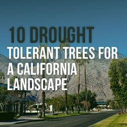 10 Drought Tolerant Trees For A California Landscape http://www.heavenlygreens.com/blog/10-drought-tolerant-trees-for-a-california-landscape /heavenlygreens/