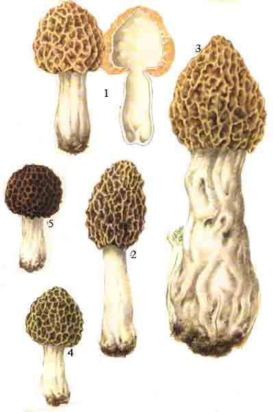 http://www.ditext.com/mushroom/morchella.jpg