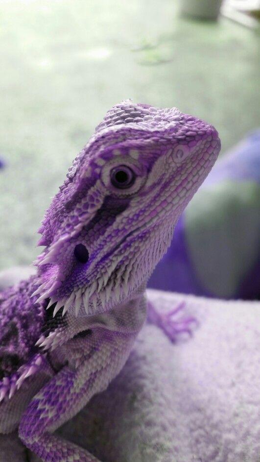 Purple beared dragon