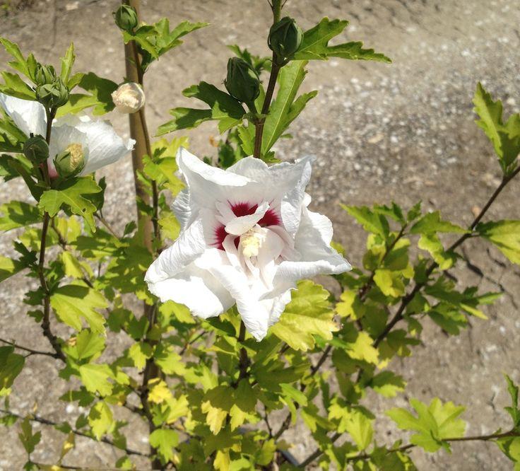 Hibiscus Syriacus Red Heart Fiore doppio