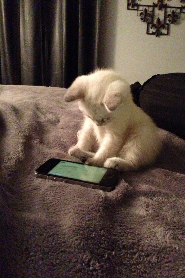 kitten with iphone