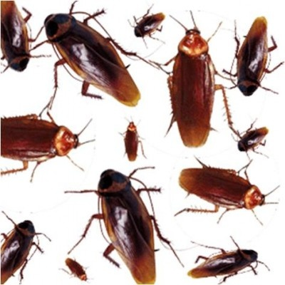 how to get rid of cockroaches in your home animal pets insects rats cockroach control. Black Bedroom Furniture Sets. Home Design Ideas
