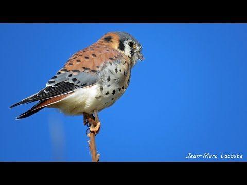Vidéo de la crécerelle d'Amérique, 2 novembre 2014 - YouTube