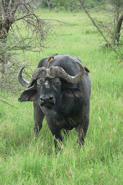 "Relatives, sharing. Wbcw Tdm, elder crystal child, alightfromwithin.org, Rainbow Warriors of Prophecy. Image carried this saying, ""Water Buffalo, Serengeti"""