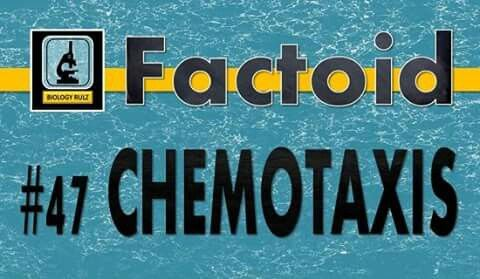 Did you know:  #Bacteria are drawn towards their food by way of various chemicals diffusing from the food. For example, bacteria that feed on #glucose (or sugar) are drawn towards a high concentration of glucose in the environment. We call this process #chemotaxis. That is, movement (-taxis) in response to chemicals (chemo-). #Positive chemotaxis is movement towards a particular chemical (like glucose). #Negative chemotaxis, then, is movement away from a particular chemical (like…