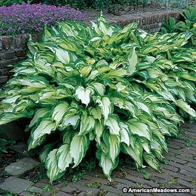 Wavy green leaves have white blazes in the center. One of the most popular Hostas, it's a beautiful variety to brighten up shady areas of the garden. (Hosta undulata)