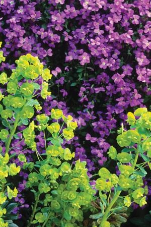 PURPLE AND LIME GREEN; Euphorbia robbiae - a completely invaluable plant for growing in a shady spot to brighten up a dark corner and for picking – by the bucket – for all your spring vases of flowers. We'd be lost without this in the cutting garden. Aubrieta Blue Cascade - No spring garden is complete without aubretias tumbling over steps, walls or softening the edges of your spring borders