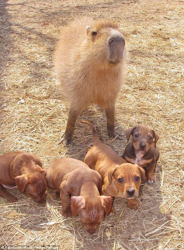 Cute story... The abandoned doxie puppies and the capybara, known as Cheesecake, became acquainted at the Rocky Ridge Refuge, an animal rescue group based in Arkansas.