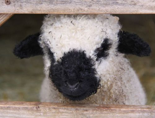 Curly Little Lamb