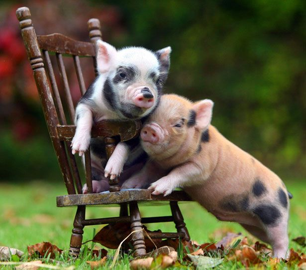 Micro Pig!!!!!!! OMG THEY DO EXIST! ONLY 20LBS OR LESS AT MATURITY, CAN BE POTTY TRAINED IN 1-3 DAYS, AND A 50LB BAG OF FOOD COST $13 DOLLARS AND LASTS 6 MONTHS WHY DO I NOT OWN ONE OF THESE ALREADY!?!?!