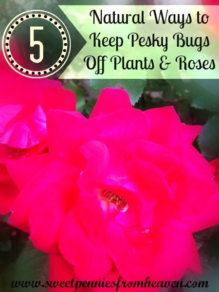 How to get rid of bugs on your plants rose bushes for Getting rid of stuff minimalist