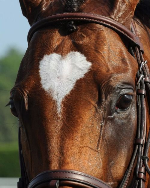 The thoroughbred 'Heart To Heart'