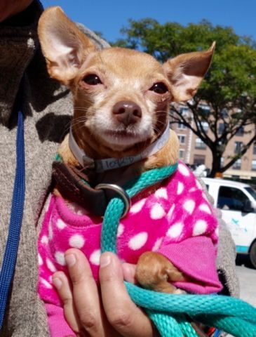 "PRINCESS - A1092875 - - Manhattan  Please Share:TO BE DESTROYED 10/14/16 **NEEDS A NEW HOPE RESCUE TO PULL** A volunteer writes: Princess is an adorable sight in her kennel, so girly in her pink and white polka dots outfit. She welcomes me at first with a, ""What do you want from me?"" ""I am your new friend, sweetheart. Wanna go out, have fun, try new treats, meet people and other dogs?"" Princess softens at once. I open her door and she is in my arms i"