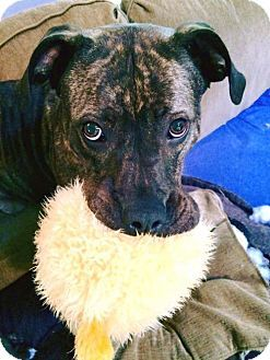 Pictures of Rey a Pit Bull Terrier Mix for adoption in Dallas, GA who needs a loving home.