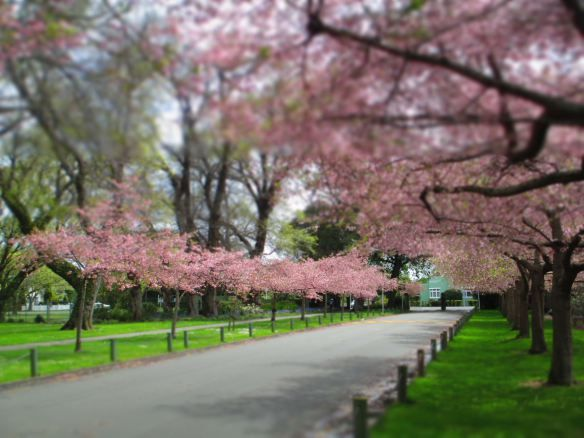 Cherry Blossoms, Victoria Esplanade, Palmerston North