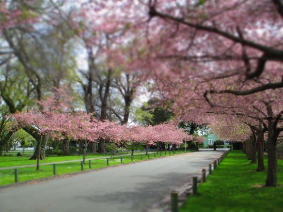 Cherry Blossoms, Victoria Esplanade, Palmerston North