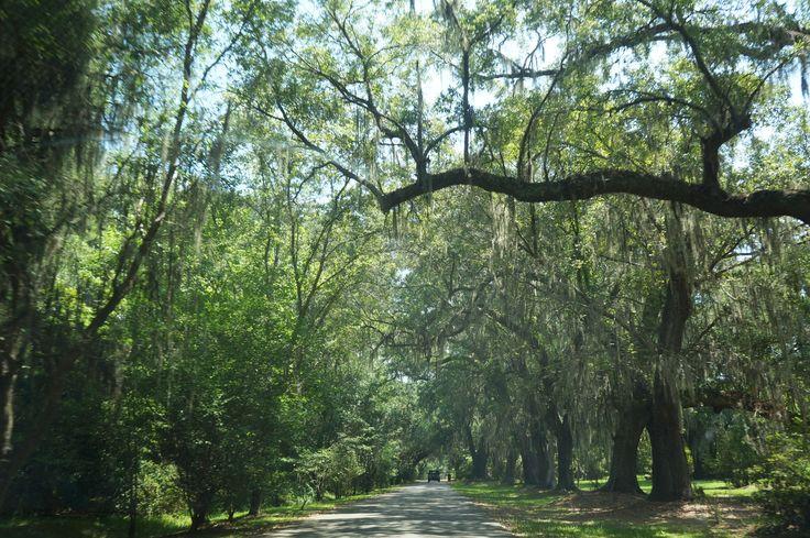 The Oak Avenue at Magnolia Plantation, Charleston, South Carolina