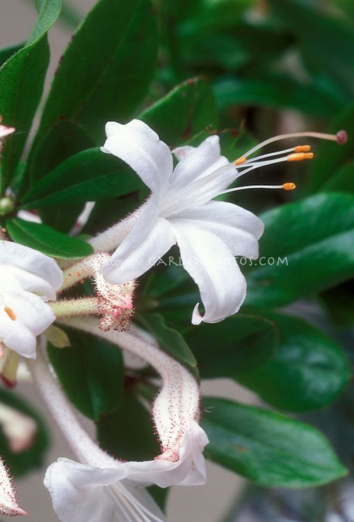 Rhododendron Viscosum Native American Shrub In White