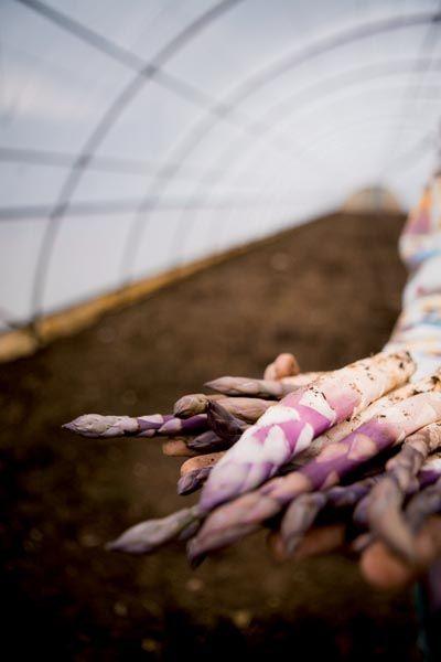 La bontà dell' #Asparago Violetto si apprezza cucinandolo al vapore e condendolo all'agro, così da mantenerne invariati gusto, profumo e proprietà. http://turismo.provincia.savona.it/it/prodotti-tipici/asparago-violetto